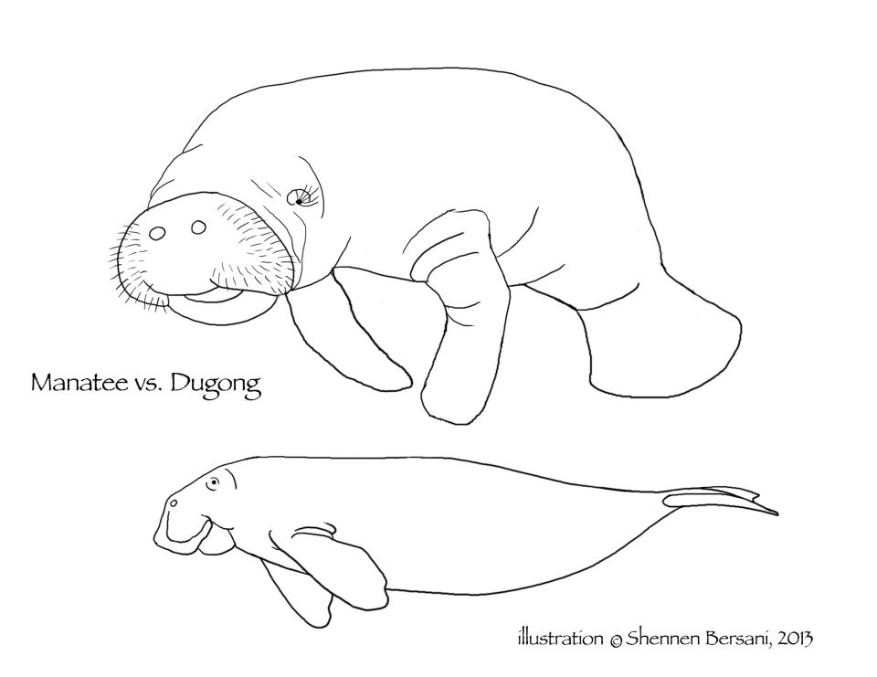 Dugong and manatee coloring page Shennen Bersani