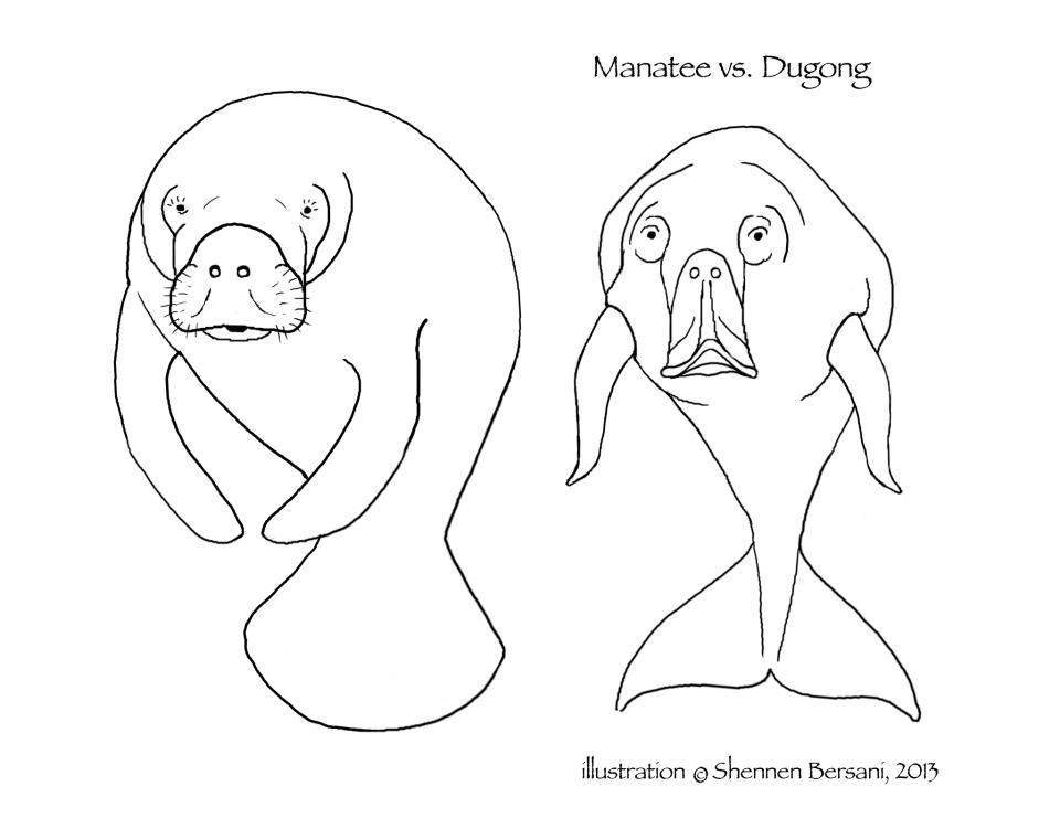 Manatee and Dugong coloring page Shennen Bersani